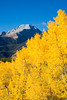 Aspen (Populus tremuloides) foliage in fall, with Mt. Hope (13,933 ft.) in the background.  Taken in the San Isabel National Forest, Colorado, USA.