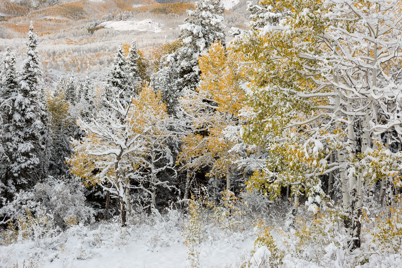 Fresh snow highlights the forest in fall. Taken on Owl Creek Pass, Uncompahgre National Forest, Colorado, USA.
