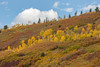 A billowing cloud provides a backdrop for scrub oak (Quercus gambelii) and quaking aspen (Populus tremuloides). Taken in the Uncompahgre National Forest, Colorado, USA.