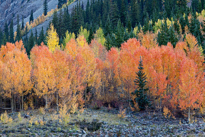 """Orangey Colorado Aspens"""