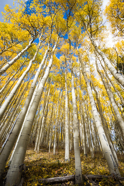 Golden aspen (Populus tremuloides) foliage in fall.  Taken in the San Isabel National Forest, Colorado, USA.