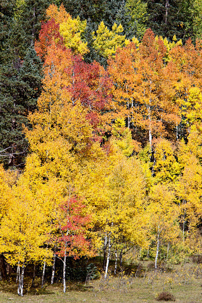 Fall foliage of the aspen (Populus tremuloides) mixed with  Colorado blue spruce (Picea pungens). Taken in the area of Silverton, Colorado, USA.
