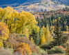 A mixture of fall foliage comprised of narrowleaf cottonwood, (Populus angustifolia), quaking aspen (Populus tremuloides) and scrub oak (Quercus gambelii) combine for a breathtaking fall scene. Taken in the Uncompahgre National Forest, Colorado, USA.