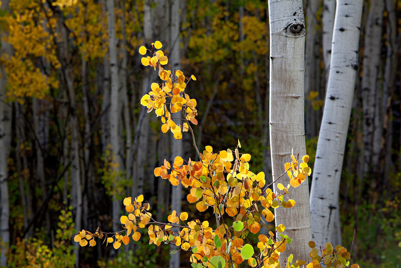 """A Walk in the Forest""<br /> <br /> I love to walk around in an aspen (Populus tremuloides) forest any time of year. But fall is the best! Taken in the Gunnison National Forest, Colorado, USA."