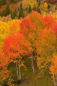 """Colorado Aspen Color"" Taken on McClure Pass."
