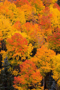 """Orange, Red, Yellow"" Near Ridgway, Colorado"
