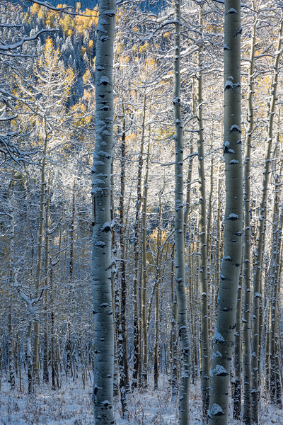 The bark patterns on quaking aspen (Populus tremuloides) trunks are highlighted by snow. Taken on Owl Creek Pass, Uncompahgre National Forest, Colorado, USA.