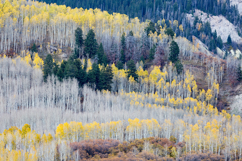 Fall was fading fast as the quaking aspen (Populus tremuloides) were losing their leaves, and the Gambel oaks  (Quercus gambelii) were losing their vibrant colors. Taken in the Uncompahgre National Forest, Colorado, USA.