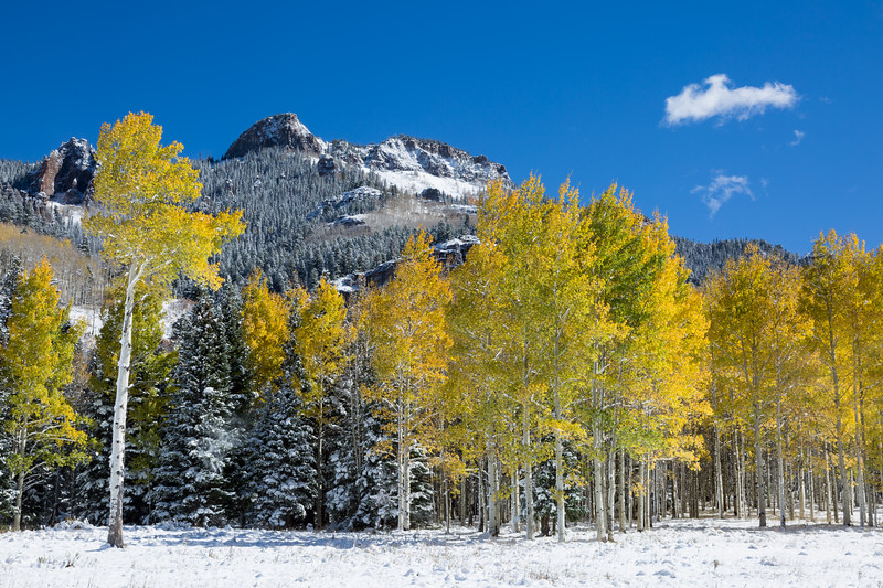 Quaking aspen (Populus tremuloides) and snow-flocked pines in front of the cliffs of Owl Creek Pass. Taken in the Uncompahgre National Forest, Colorado, USA.