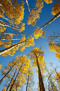 """Look Up!""  My favorite thing to do in a stand of big aspen: Looking straight up, handholding the camera, with the widest-angle lens I've got, while lying down on the forest floor. These aspen (Populus tremuloides) were in the Uncompahgre National Forest, Colorado, USA."