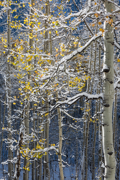 Snow defines the forms of quaking aspen (Populus tremuloides) in fall. Taken on Owl Creek Pass, Uncompahgre National Forest, Colorado, USA.