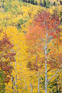 """Fifty Shades of Fall""  The many colors of aspen (Populus tremuloides), as seen along Last Dollar Road. I am particularly fond of the reds and oranges. Taken in the Uncompahgre National Forest, Colorado, USA."