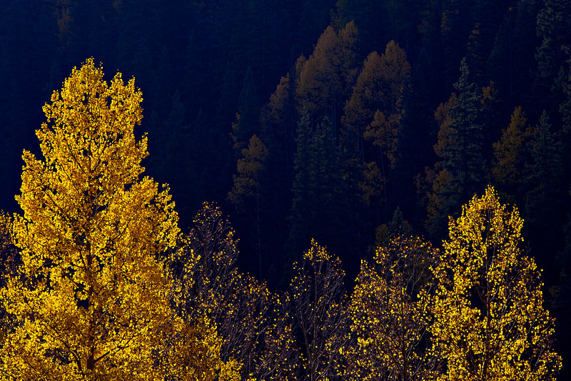 """Backlit Gold""<br /> <br /> The aspen were really hopping when we were in Colorado last fall. I liked this early morning image because the sun had not yet reached the hint of forest in the background, yet it was lighting up the foreground trees. Taken near Silverton, Colorado, USA."