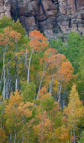 """Aspen Grouping With Cliffs""<br /> <br /> Fall foliage of the aspen (Populus tremuloides) in the Slumgullion Pass area. Taken in the Gunnison National Forest, Colorado, USA."