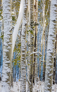 """Snow Patterns on Aspen Bark"""