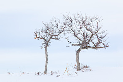 """Pas de Deux""  Two trees reach out to each other in a cold winter dance. Taken in San Miguel County, Colorado, USA."