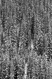 """Flocked Trees III""  This is a black and white image."