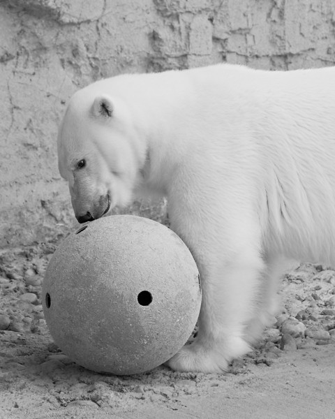 """""""Cranbeary With Her Ball""""<br /> <br /> Cranbeary, the polar bear, was born at the Denver Zoo. Then she was moved to the Memphis Zoo, and eventually got to return to her birthplace. Here she is eating some tuna that was place on her ball by her keeper."""