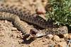 A prairie rattlesnake (Crotalus viridis viridus). Taken in the Pawnee National Grassland, Colorado, USA.