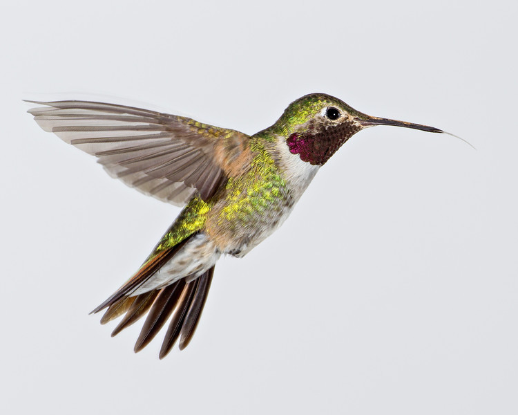 A male broad-tailed hummingbird (Selasphorus platycercus) in flight. Taken in the San Juan National Forest, Colorado, USA.