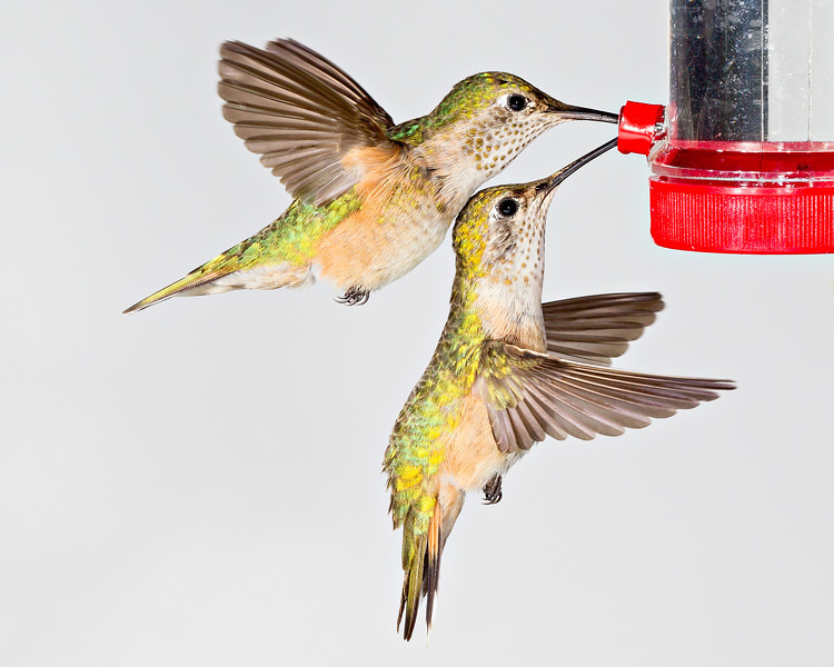 Two female broad-tailed hummingbirds (Selasphorus platycercus) coordinate in feeding at the same time. Taken in the San Juan National Forest, Colorado, USA.