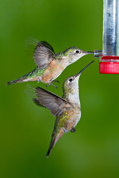 Two female broad-tailed hummingbirds (Selasphorus platycercus) share the one opening to a sugar water feeder. Taken in the San Juan National Forest, Colorado, USA.