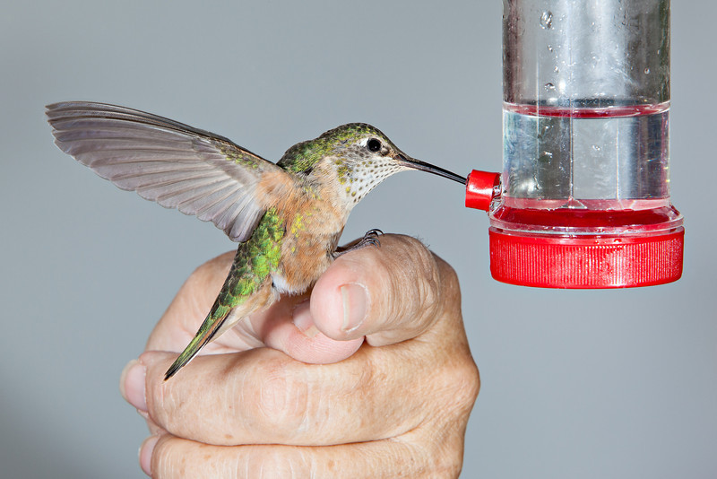 """Featherweight""<br /> <br /> If you walk up very slowly and carefully and extend your hand to a hovering hummingbird, you could have one of the most delightful experiences. Here you see a female broad-tailed hummingbird (Selasphorus platycercus) which has landed on my friend's finger, using it as a perch. The hummingbirds are so light. They only weigh about 1/10th of an ounce! (4 g) And their little feet are so gentle. Taken in the San Juan National Forest, Colorado, USA."