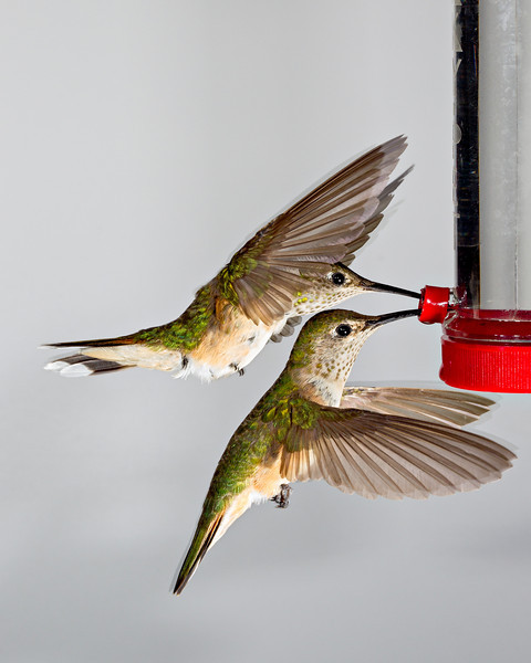 """I've Got Your Back Covered""<br /> <br /> Two female broad-tailed hummingbirds (Selasphorus platycercus) coordinate in feeding at the same time. It was amazing to see this over and over again. This photo is just for fun. I was tweaking my setup to try and avoid the wing blur, which was more prominent because I had too much ambient light in this situation. Taken in the San Juan National Forest, Colorado, USA."