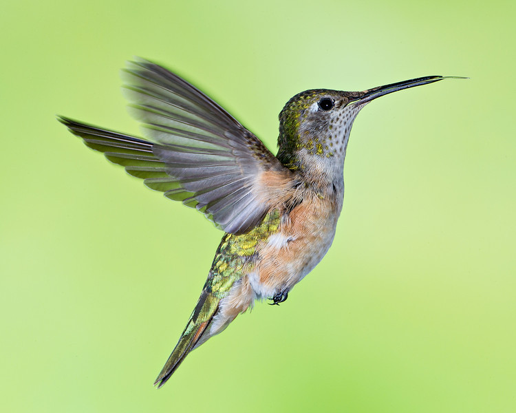 A female broad-tailed hummingbird (Selasphorus platycercus) in flight. Taken in the San Juan National Forest, Colorado, USA.