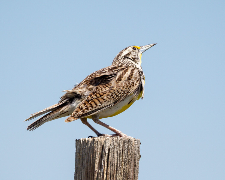 A Western meadowlark (Sturnella neglecta) scans the sky as a raptor flies overhead. Taken in the Pawnee National Grassland, Colorado, USA.