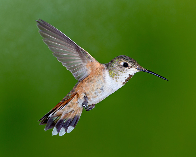 A likely female rufous hummingbird (Selasphorus rufus). Taken in the San Juan National Forest, Colorado, USA.
