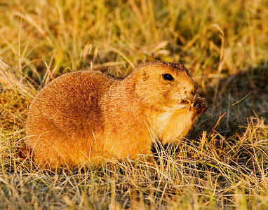 """Chatfield Prairie Dog""  Sunrise light shone golden on a feeding black-tailed prairie dog."