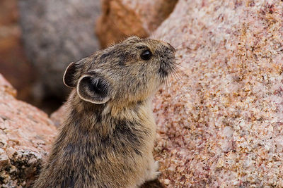 """Pika""  These teeny animals live up in the same habitat as the marmots. Mt. Evans Wilderness."