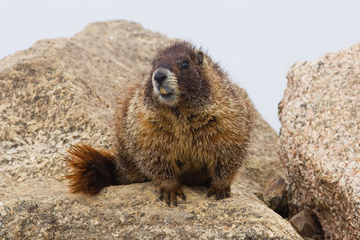 """Marmot in Fog I""  Mt. Evans Wilderness."