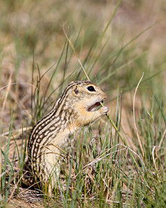 """Showing His Stripes""  I find these little guys to be so dapper with their striped patterns on the back. This is a thirteen-lined ground squirrel (Ictidomys tridecemlineatus) in the Pawnee National Grassland. They are also known as the striped gopher, leopard ground squirrel, squinney, or leopard-spermophile."