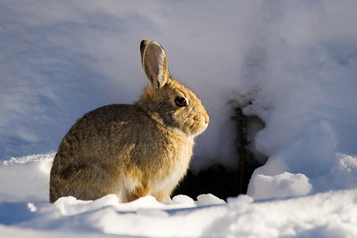 """Snow Bunny""  A cottontail sat outside his den in late light one winter evening."