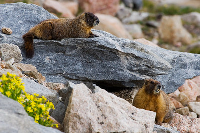 """Marmot Pair""  Mt. Evans Wilderness."