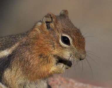 """Ground Squirrel""  Not to be confused with the chipmunk, which has stripes on the face. This fella doesn't."