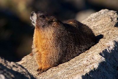 This yellow-bellied marmot was just a-soakin' up the sun and looking every which way.