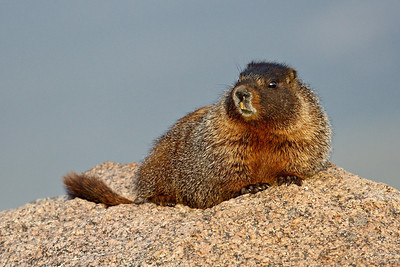 A yellowbellied marmot (Marmota flaviventris) in the Mt. Evans Wilderness Area of Colorado.