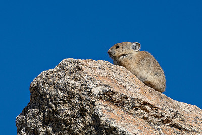 An American pika  (Ochotona princeps) in the Mt. Evans Wilderness Area of Colorado.