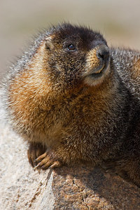 """If A Marmot Can Be Cute""  This one sure was!"