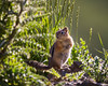 A golden-mantled ground squirrel (Callospermophilus lateralis). Taken in the San Juan National Forest, Colorado, USA.