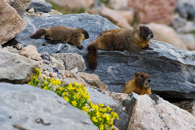 """Marmot Family""  Taken on Mt. Evans."