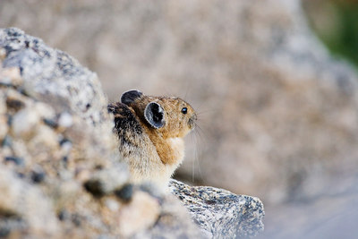 """Pika In Its Environment I""  Mt. Evans Wilderness."
