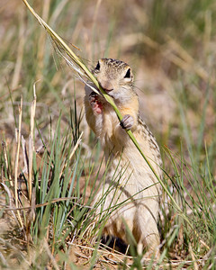 """Nibbling""  A thirteen-lined ground squirrel (Ictidomys tridecemlineatus) nibbles on a piece of grass. This species is a primary food source for the swift foxes on the prairie. Taken in the Pawnee National Grassland, Colorado, USA."