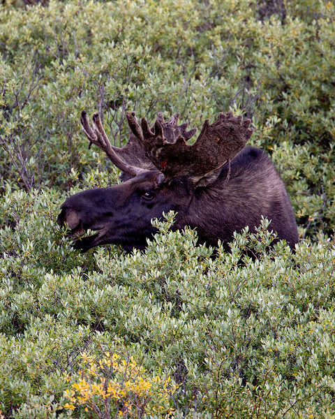 """Just Starting""<br /> <br /> This bull moose (Alces alces) was just beginning to shed the velvet on his antlers. Taken in the Gunnison National Forest, Colorado, USA."