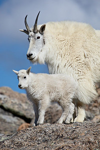 """Nanny and Kid""  A mountain goat (Oreamnos americanus) nanny and her days-old kid. Taken in the Mt. Evans Wilderness Area of Colorado."