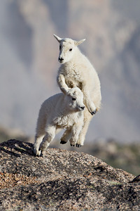 """Full of Themselves""  These days-old mountain goat kids (Oreamnos americanus) were energetic and full of themselves. Taken in the Mt. Evans Wilderness Area, Colorado, USA."