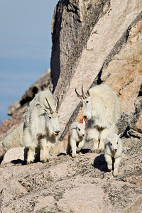 """Making Their Way""  Mother mountain goats (Oreamnos americanus), also known as nannies, accompany their new babies, or kids. They are going up the face of Mt. Evans in the Mt. Evans wildnerness area of Colorado, USA."